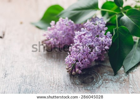 Blooming flower of purple lilac - stock photo