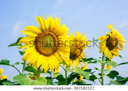 blooming flower of sunflower field in agriculture farm