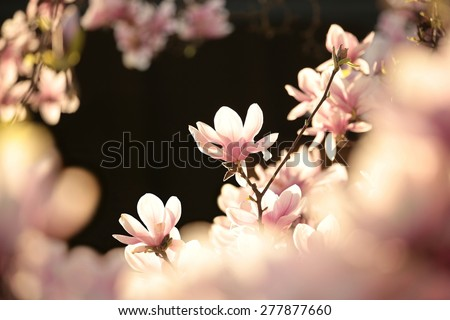 Blooming flower on a magnolia tree. - stock photo