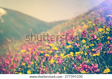 Blooming Flowers in mountains valley alpine Spring Summer seasons natural Background trendy colors - stock photo
