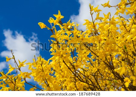 blooming forsythia  - stock photo