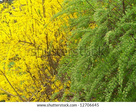 Blooming forsythia and green bush. Background.