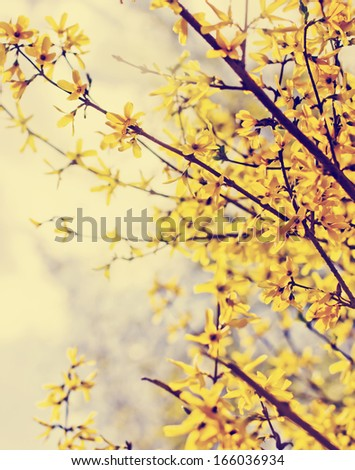 Blooming Forsythia/Spring background with yellow flowers tree - stock photo