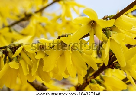 Blooming forsythia. Symbol of spring and easter - stock photo