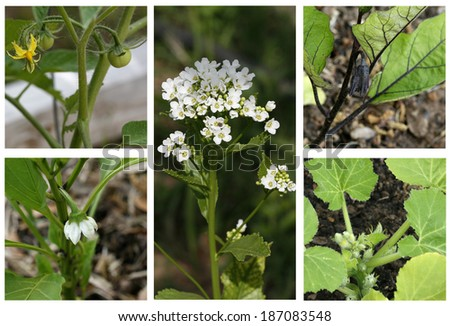 Blooming Garden-flowers of tomato, pepper, horseradish, eggplant and zucchini. - stock photo