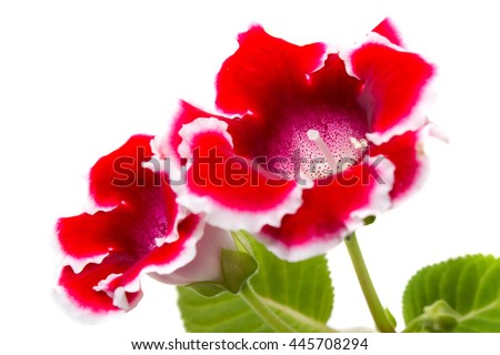 Blooming gloxinia (sinningia speciosa) red with white edging on white background