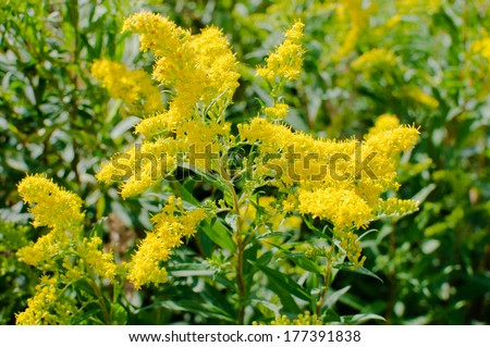 Blooming goldenrod - stock photo