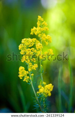 Blooming goldenrod flower on green meadow - stock photo