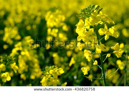Blooming grape on the field at spring - stock photo