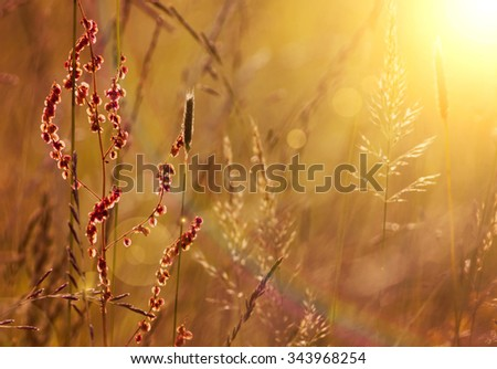 Blooming grass and pollen in Summer