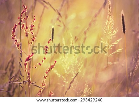 Blooming grass in a Summer field in sunrise - stock photo