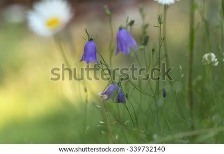 Blooming harebells, Campanula rotundifolia - stock photo