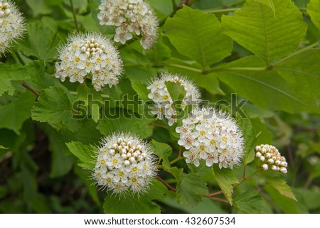 Blooming hawthorn or maythorn, Crataegus, in early summer. Russia. - stock photo