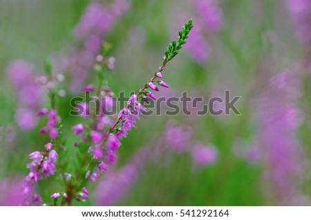 Blooming heather in the summer forest
