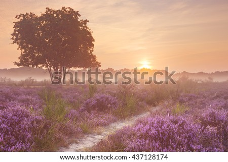 Blooming heather on a foggy morning at sunrise. Photographed near Hilversum in The Netherlands. - stock photo