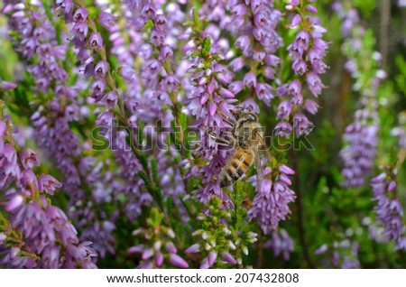 blooming heather with honey bee - stock photo