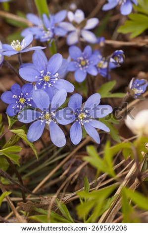 Blooming hepatica in a pile of leaves on a spring day in the forest. - stock photo