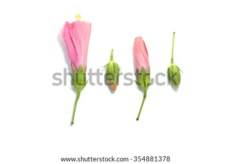 blooming hibiscus flower isolate , hibiscus flower on white backgrounds - stock photo