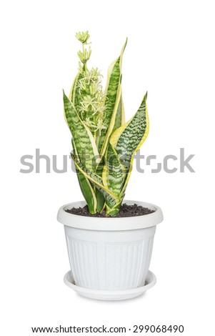 Blooming home flower Sansevieria, covered with drops of nectar, in flowerpot, isolated on a white background - stock photo