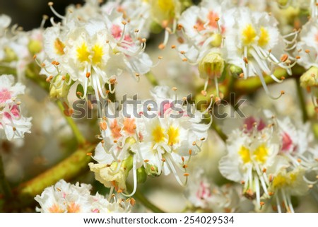 Blooming Horse-chestnut twig, Aesculus hippocastanum - stock photo