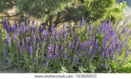 Hyssop Stock Images RoyaltyFree Images Vectors Shutterstock