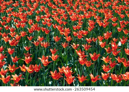 Blooming in a field of red tulips - stock photo