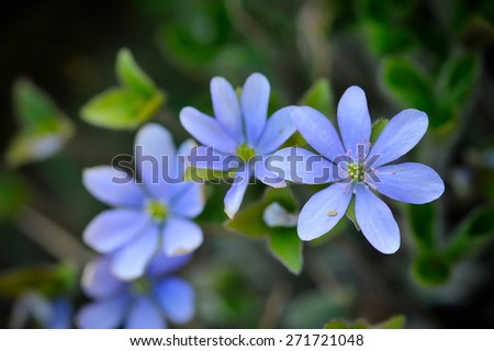Blooming in the spring forest Hepatica nobilis - stock photo