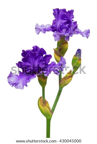 Blooming iris flower isolated on white background - stock photo