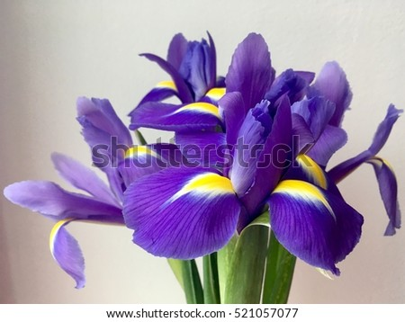 Blooming iris flower on a white background