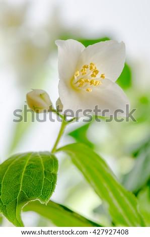 Blooming jasmine bush, close-up - stock photo