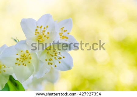 Blooming jasmine bush, nature background - stock photo