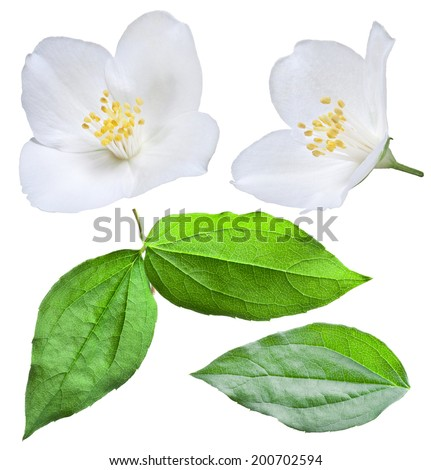 Blooming jasmine flower with leaves. File contains clipping path. - stock photo