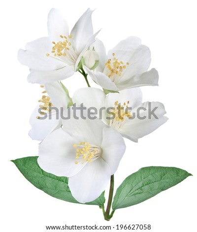 Blooming jasmine flower with leaves isolated on a white background. - stock photo