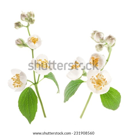 Blooming jasmine flower with leaves isolated on white background - stock photo