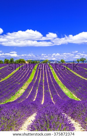 blooming lavander fields in Provance, France - stock photo