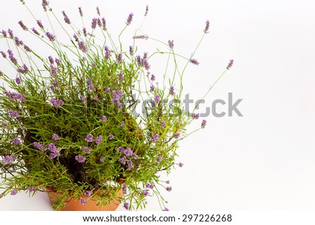 Blooming lavender bush from the view from above - stock photo
