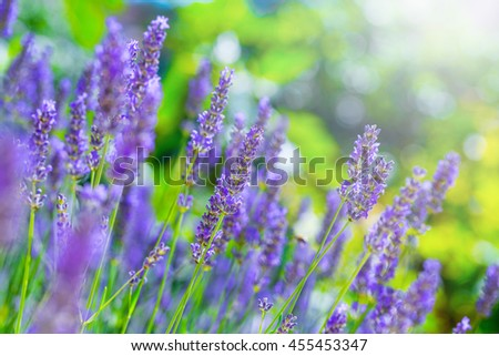 Blooming Lavender bush in a shallow depth of field backlight is soft sunlight filled. Traditional European Mediterranean Agriculture. Blurred summer background of lavender flowers.