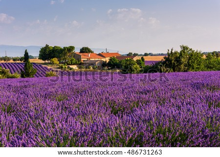 Blooming lavender field and a farm, surrounded by green trees, beautiful rural landscape of French Provence, Plateau de Valensole, France