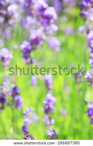 Blooming lavender flowers. Intentional blur.  - stock photo