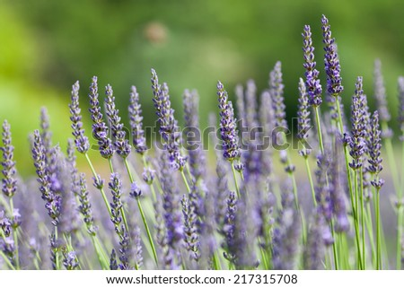 blooming lavender in summer - stock photo