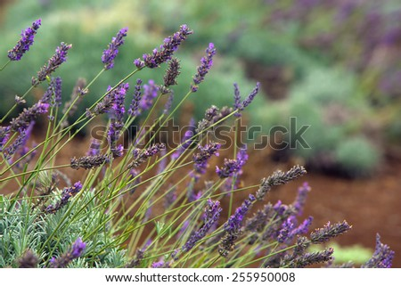 Blooming lavender plants on Maui Hillside in Hawaii - stock photo