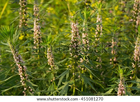 Blooming Leonurus in sunset light, motherwort, throw-wort, lion's ear, Leonotis nepetifolia, medicinal plant - stock photo