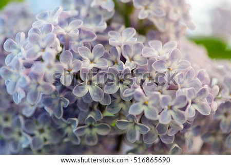 Blooming lilac bush in the garden, soft focus