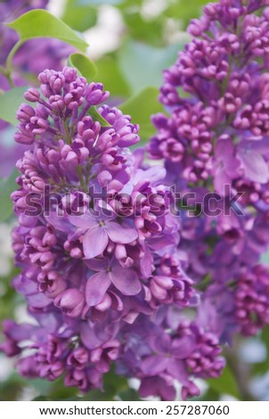 Blooming lilac bushes against the clear blue sky in spring. - stock photo