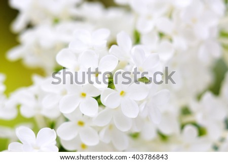Blooming lilac flowers. Abstract background. Macro photo.