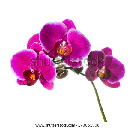 Blooming lilac orchid with bandlet isolated, white background - stock photo