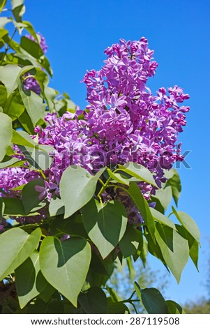 Blooming lilacs against a blue sky. The quality of medium format - stock photo