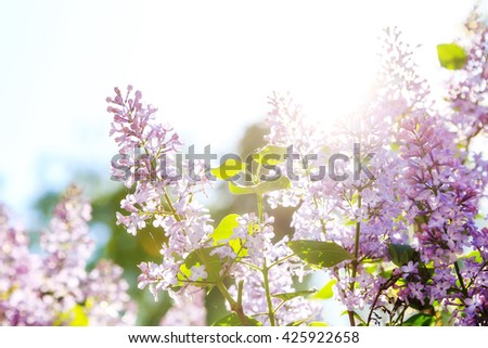 Blooming lilacs against the bright sun bright sunny day blur focus - stock photo
