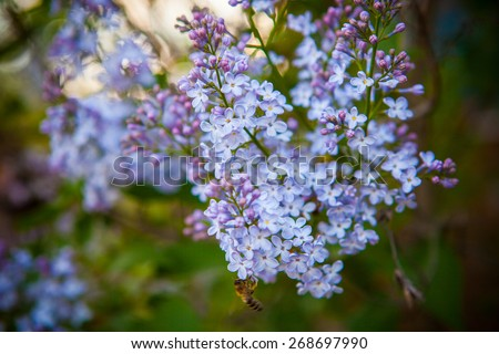 Blooming Lilacs and Bee, Bokeh - stock photo