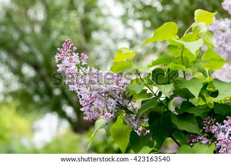 blooming lilacs. Garden blooming lilac in the spring. The scent of lilacs. Gardening, pruning and caring for shrubs lilac. - stock photo